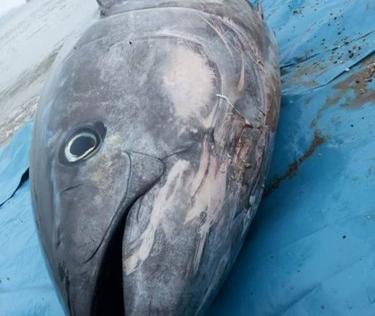 Bắt được cá ngừ vây xanh khồng lồ có giá gần 40 tỷ