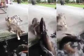 Cá dưới hồ nhảy lên đớp mèo định ăn thịt