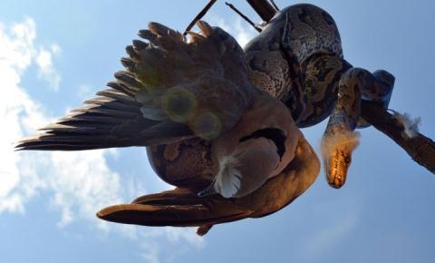 Khoảnh khắc trăn 'khủng' siết chết chim bồ câu trên cành cây