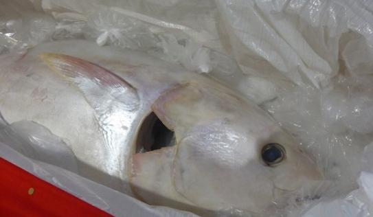 Bắt được cá ngừ khổng lồ 118kg, trắng như ngọc trai cực hiếm