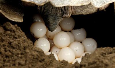 Mục sở thị cảnh rùa biển đào hố và đẻ trứng
