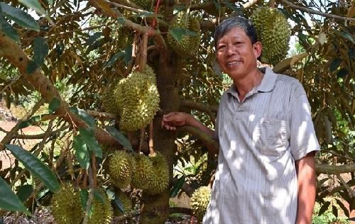 Nông dân trồng cây ăn trái, thu tiền tỷ/năm