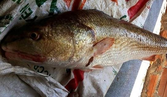 Cá sủ vàng ở Khánh Hòa: Trả 300 triệu đồng không bán