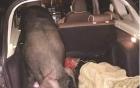 Sếp tặng lợn cho nhân viên làm quà
