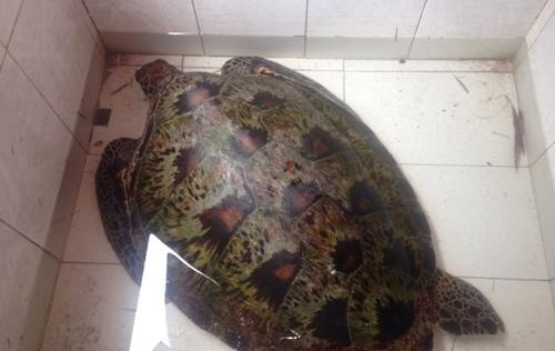 Rùa biển quý nặng 45kg mắc lưới ngư dân