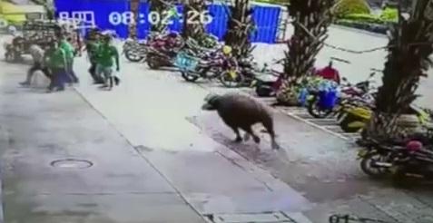 Nhiều người hoảng loạn vì bò điên gây náo loạn tấn công trên phố