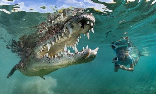 Video cô gái thản nhiên bơi cùng cá sấu dài 2,5m