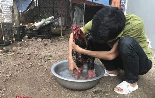 Cận cảnh mắc màn, rửa chân cho gà Đông Tảo 'khủng'