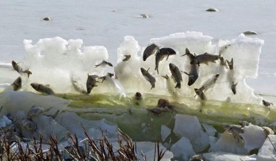 Cả đàn cá đóng băng trên không trung vì quá lạnh