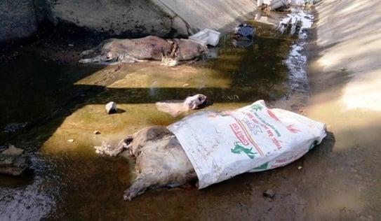 Hàng chục xác lợn chết nổi lềnh bềnh ở Hà Tĩnh