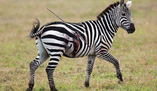 Bị giáo đâm xuyên người, ngựa vằn vẫn ung dung gặm cỏ