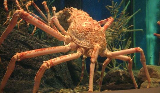 Video: Cua nhện túm tụm xé xác bạch tuộc dưới đáy biển