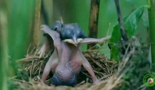 Chim tu hú thể hiện bản năng ác quỷ ngay khi vừa mới nở