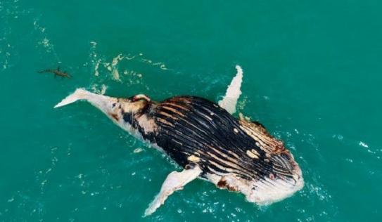 Phát hiện cá voi nổi lềnh bềnh trên biển, người đàn ông giật mình vì cảnh tượng hãi hùng khi lại gần