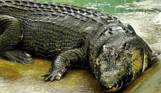 Bí mật về cá sấu 'quái vật' khủng nhất thế giới