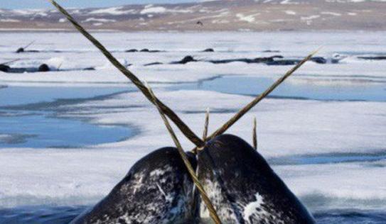 Tượng trưng cho sự thuần khiết, sừng kì lân được dùng để thử độc thức ăn và câu chuyện đáng buồn đằng sau đó