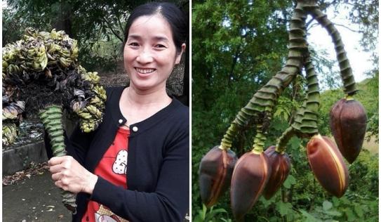 Hy hữu cây chuối 1 cuống trổ 5 hoa ở Điện Biên