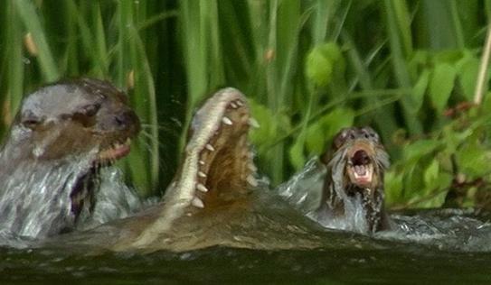 Cuộc chiến không khoan nhượng giữa gia đình rái cá với cá sấu và cái kết