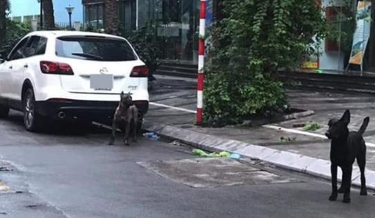 Công an phong tỏa tuyến phố để bắt 3 con chó dữ từ xế sang lao ra