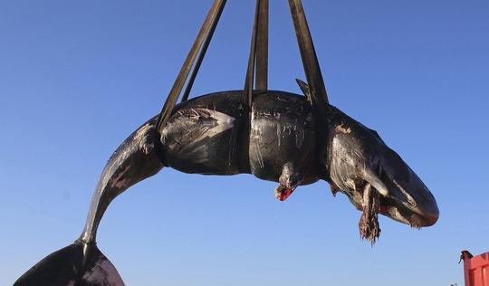 Cá nhà táng dài 8m chết với 22kg rác nhựa trong bụng