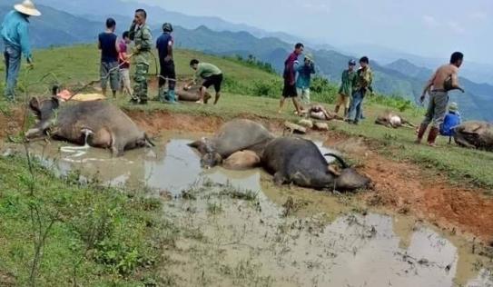 Lạng Sơn: Tắm trong vũng bùn ở Lạng Sơn, 9 con trâu bị sét đánh chết