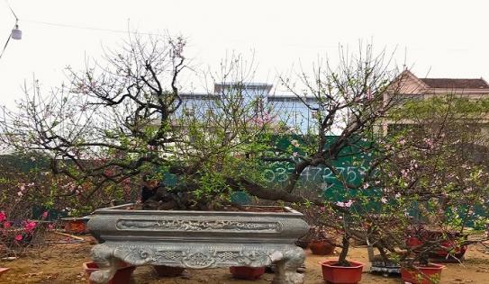 Cây đào cổ thụ dáng 'rồng bay, phượng múa' được chủ nhân hét giá cho thuê 150 triệu