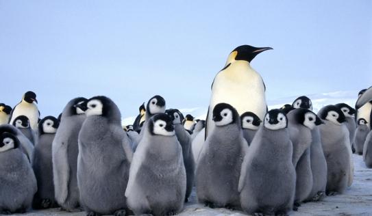 Lãnh địa chim cánh cụt hoàng đế lớn thứ hai thế giới bị xóa sổ