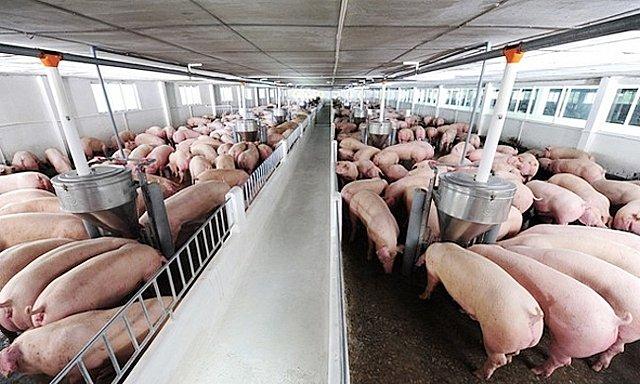 Giá heo hơi hôm nay 20/1/2020: Lao dốc mạnh do thịt heo nhập về