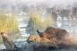 Clip: Sư tử vượt sông truy sát đàn trâu rừng