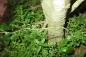 Hoa Ưu Đàm 3000 năm mới nở một lần xuất hiện ở Nghệ An