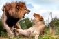 Sư tử cái suýt bỏ mạng vì tranh cướp mồi đồng loại