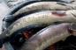 Hai trẻ nhỏ bị tử vong sau khi ăn cá lóc nướng