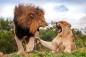 Hồi hộp xem người đàn ông chơi đùa với bầy sư tử