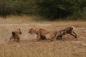 Linh cẩu cắn cụt đuôi trâu rừng, tranh mồi với sư tử