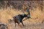Trâu rừng đơn độc chiến đấu với 2 con sư tử