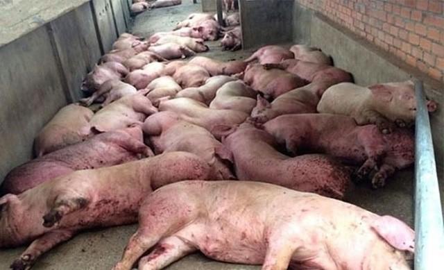 TP HCM ngừng mua lợn từ phía Bắc do dịch tả lợn Châu Phi 1