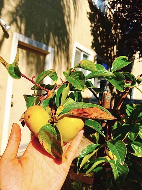 Phạm Hương khoe thu hoạch trái cây trong khu biệt thự gia đình 2