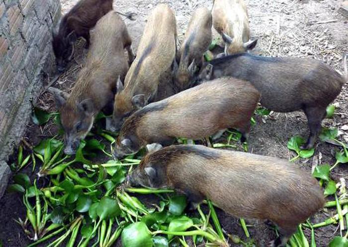 Chính phủ yêu cầu bãi bỏ quy định lợn không được ăn rau chuối 1