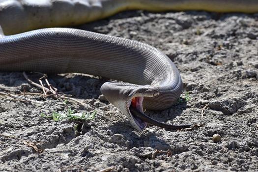 Hãi hùng cảnh trăn bực mình 'phun' ra rắn kích cỡ khủng 1