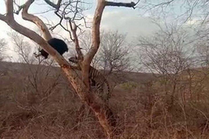 Video: Màn thoát thân ngoạn mục của gấu lợn trước hổ đói trong nháy mắt 1