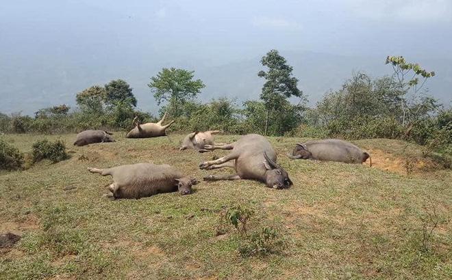 Lào Cai: Đàn trâu 6 con bị sét đánh chết, thiệt hại hơn 150 triệu đồng 1