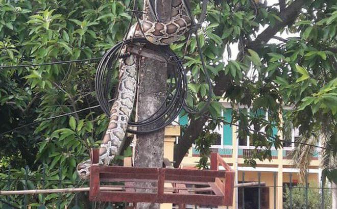 Người dân mổ thịt trăn 'khủng' vắt vẻo trên cột điện trước cổng UBND xã 1