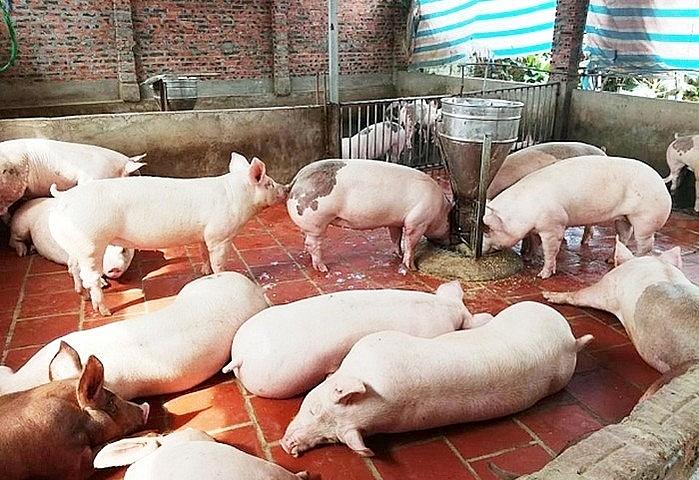 Giá heo hơi tăng phi mã: Cho phép nhập khẩu lợn sống để giảm áp lực 1
