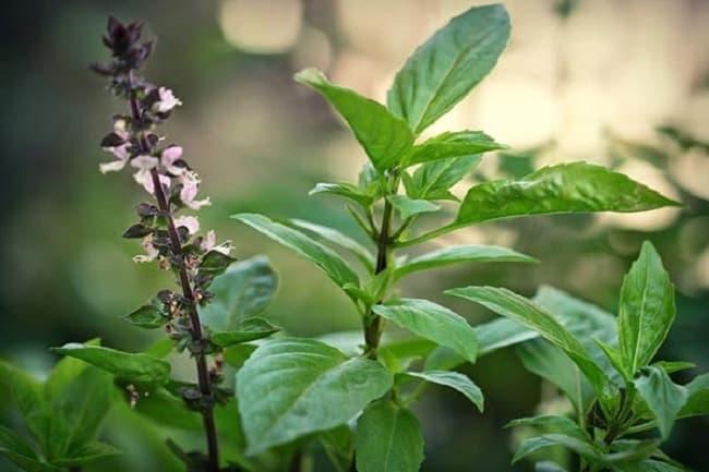5 loại cây vừa làm cảnh, gia vị vừa đuổi muỗi hiệu quả được NASA khuyên dùng 7