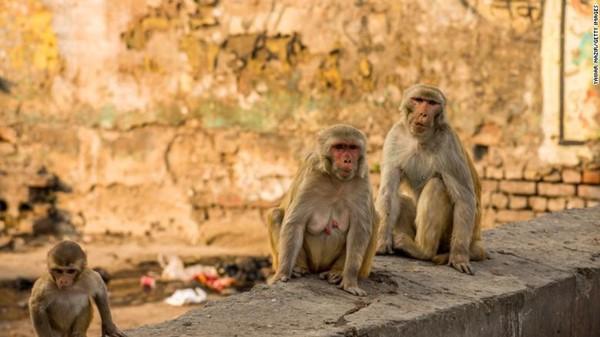 Nhân viên y tế bất cẩn để bầy khỉ giật mẫu máu của bệnh nhân Covid-19 làm đồ chơi 4