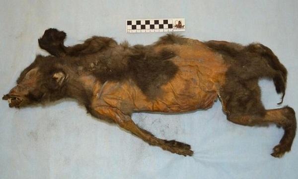 Rạch bụng chó Kỷ Băng Hà tắc thở vì ăn no, nhà khoa học phát hiện bí mật chấn động lịch sử 1