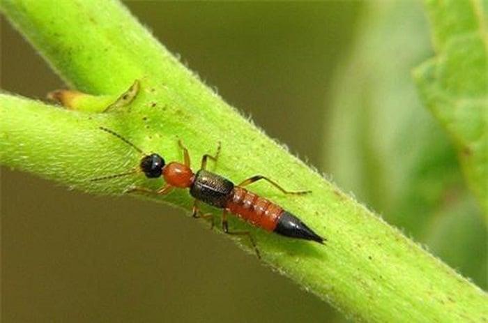 Dấu hiệu nhận biết kiến ba khoang cắn và cách chữa nhanh nhất 2