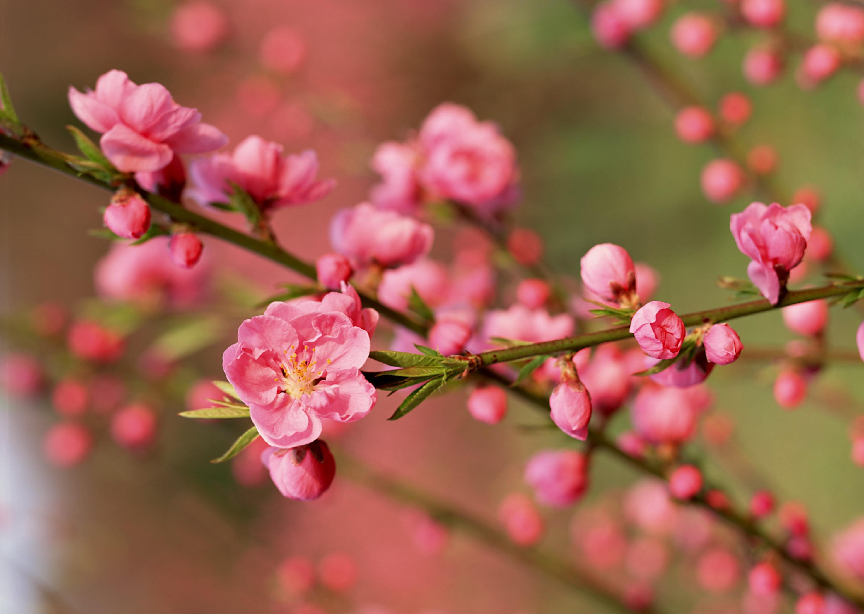 Ý nghĩa của hoa mai, hoa đào trong ngày Tết ít người biết đến 2