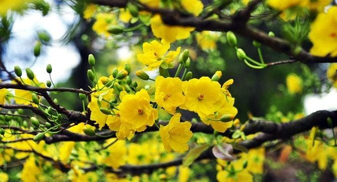 Ý nghĩa của hoa mai, hoa đào trong ngày Tết ít người biết đến 1