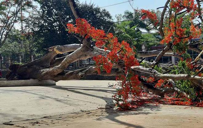 Thêm 1 cây phượng cổ thụ đường kính hơn 1m bật gốc, đổ trong sân trường 1